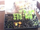 Growing Seedlings sprouts in starter kit