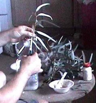 cutting cloned plant clippings